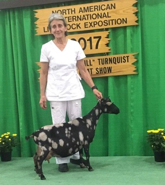 Isabella won AOP Grand Champion Senior doe again in 2017 at NAILE. She was also part of the first place Senior group of three and first place Get of Sire.
