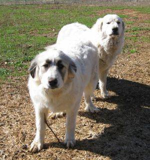 Lady (Anatolian/Great Pyrenees) in front and Martha (Great Pyrenees) and daughter of Lilly and Koy