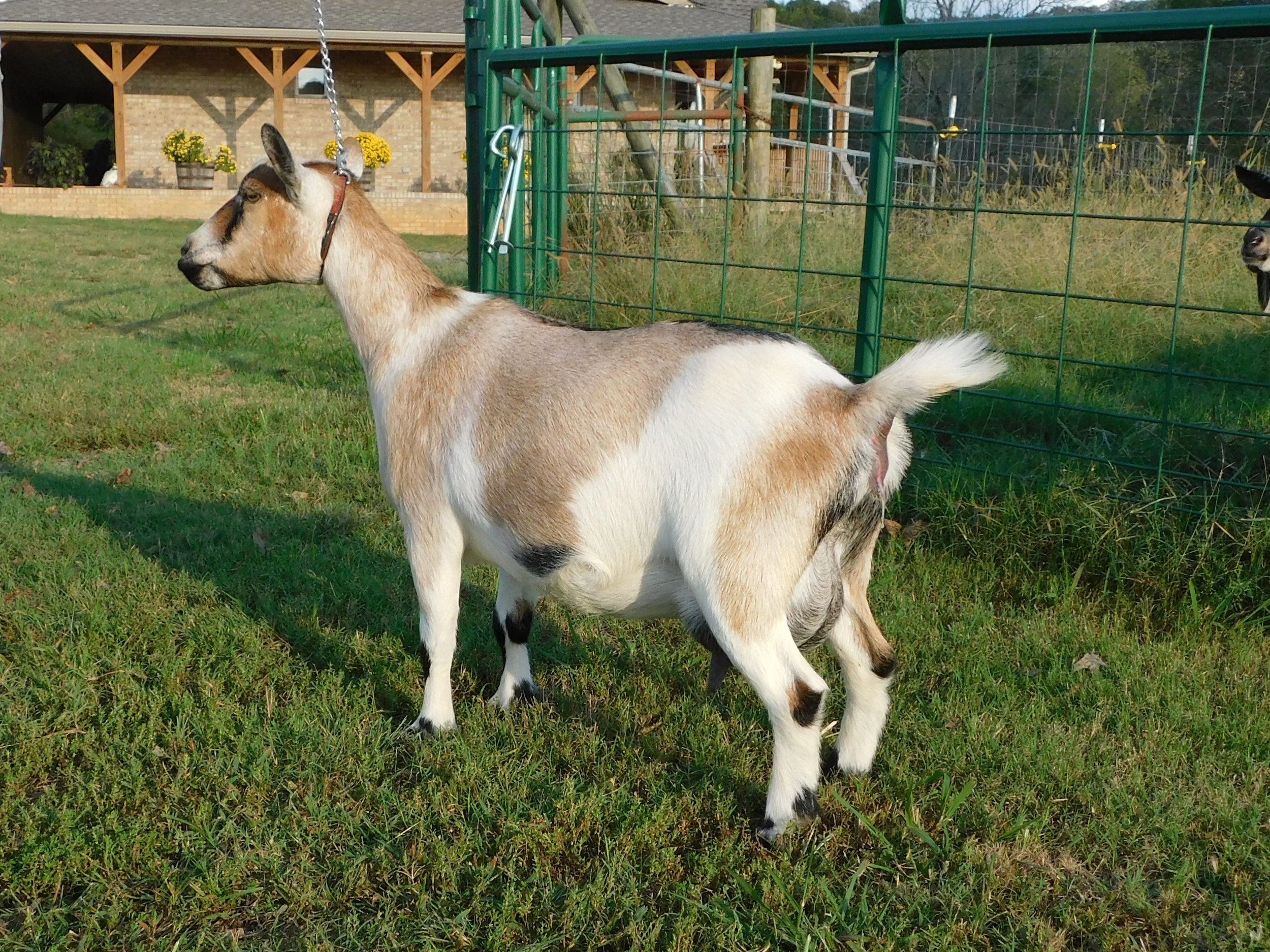 Dalila on 10/04/2018. She has been in milk since Nov. 2017