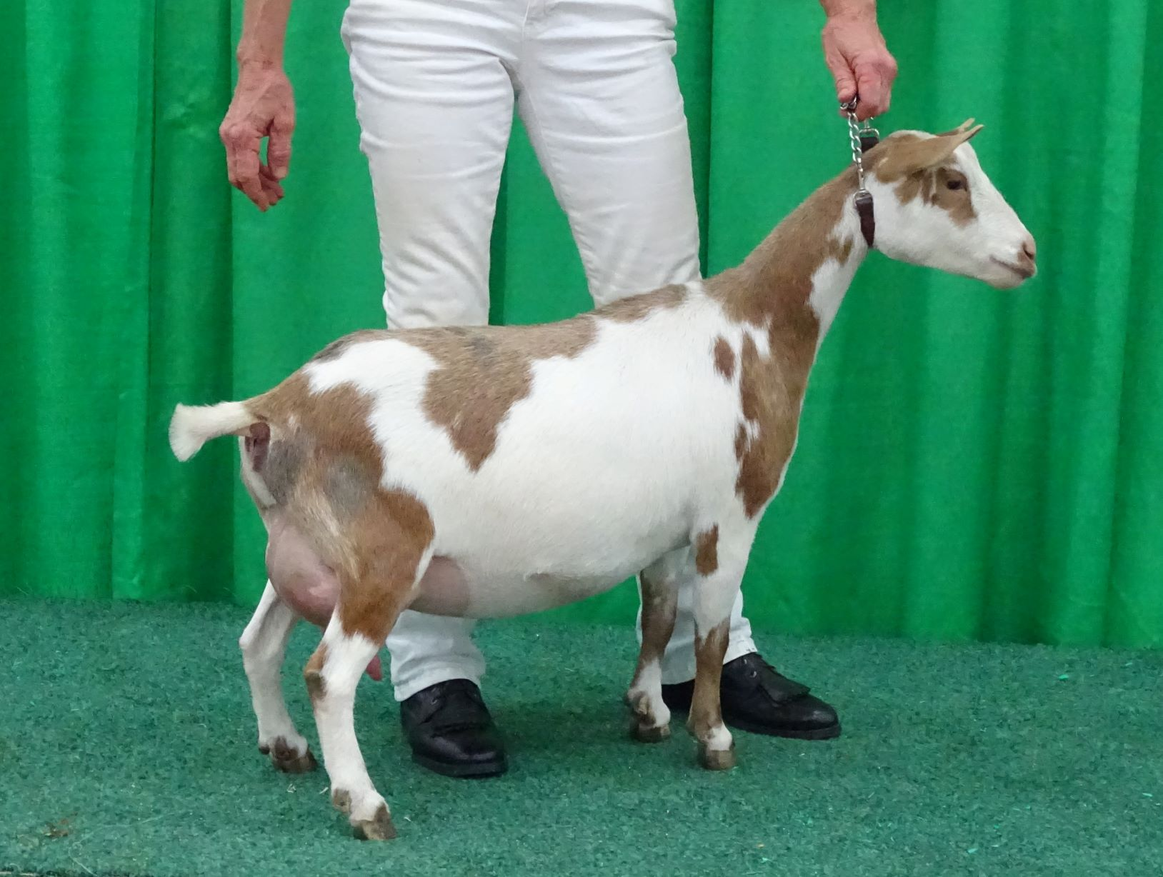 Cedar View Olivetta,  First Freshener pictured at NAILE 11/02/2018