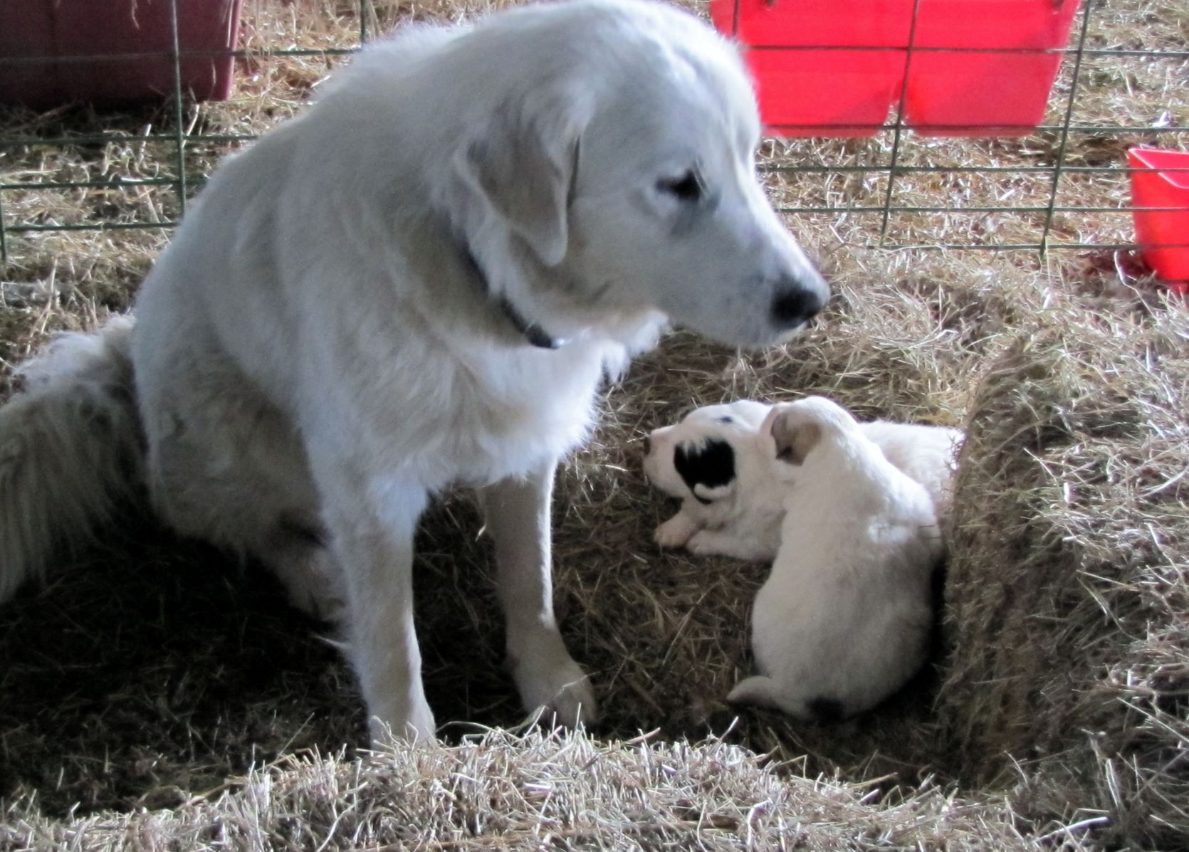 Lilly and Koy, purchased as puppies in 2011, were our first Pyrenees and these are the first pups born in Feb. 2013, Martha and George.