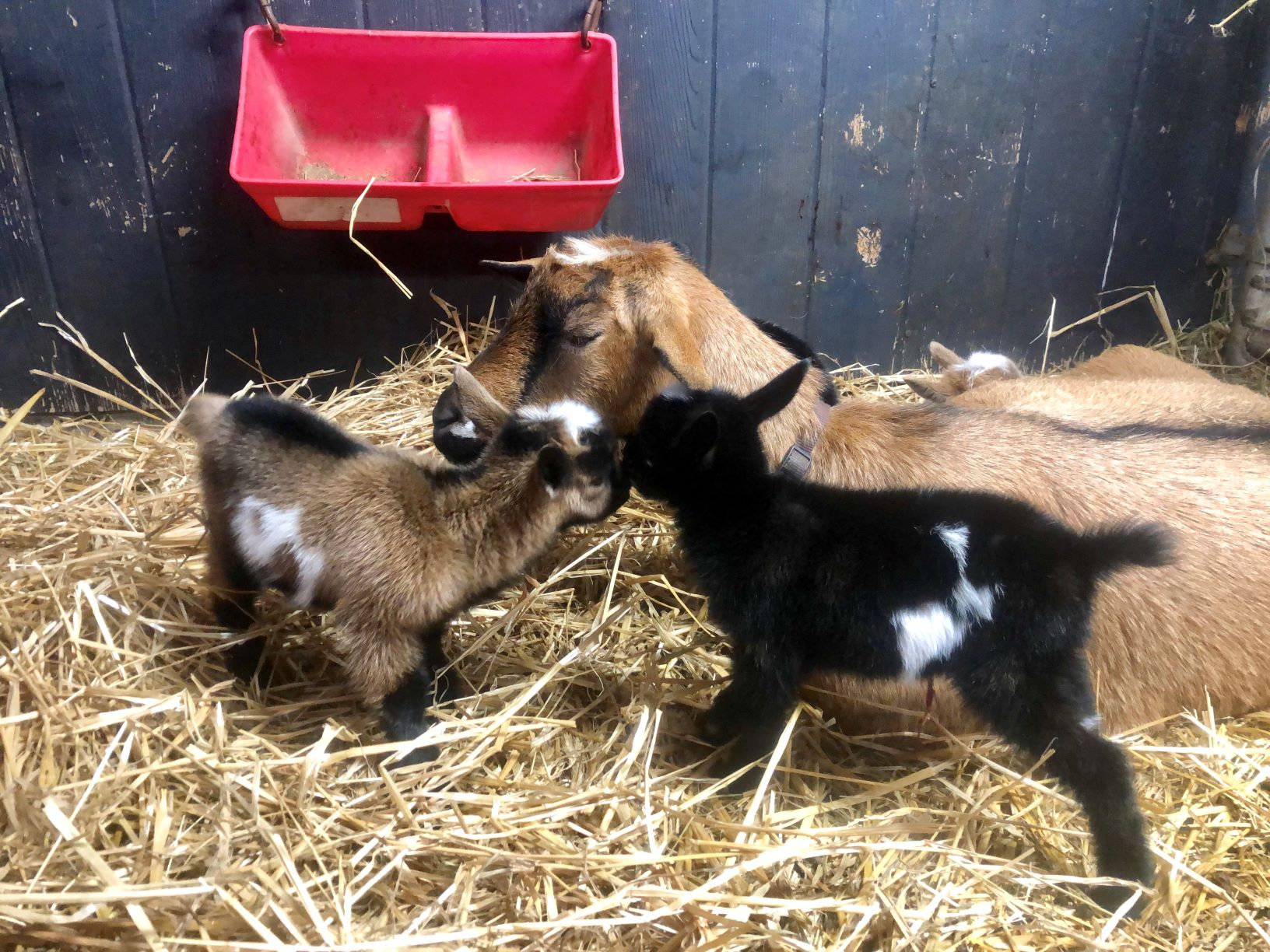 4 hours old - buck on the left is for sale