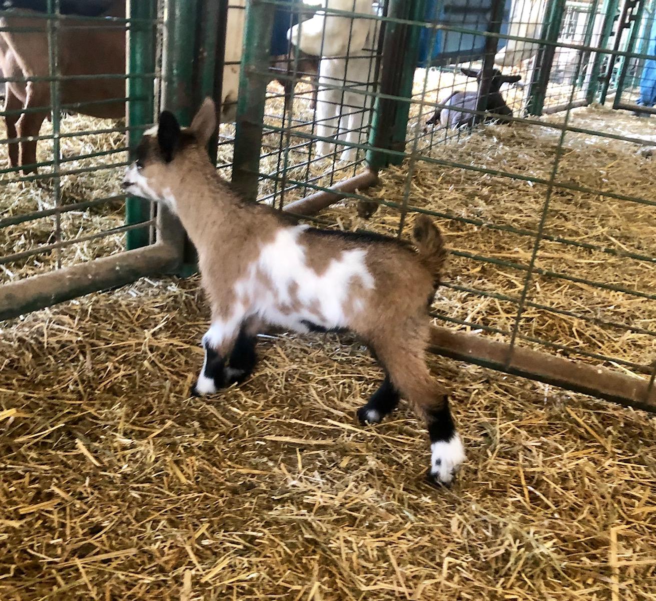 Cedar View Cosimo *B - Buck kid on 5/6/19 - 10 days old