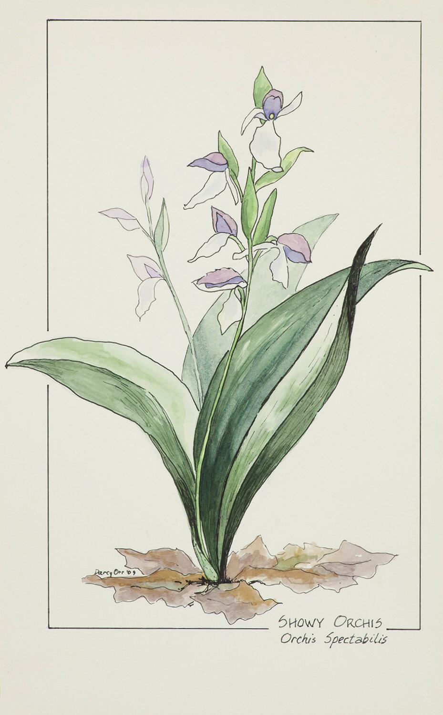 Darcy Orr, Botannical Illustration, SVFAL-001.jpg