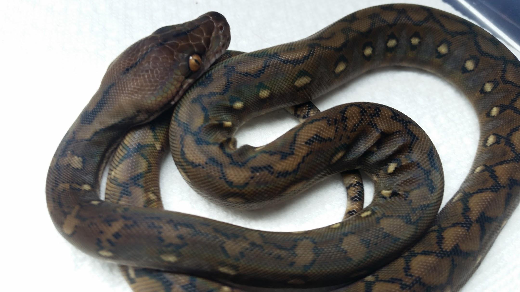 Hatchling Male SD Kalatoa, January 2017 baby.