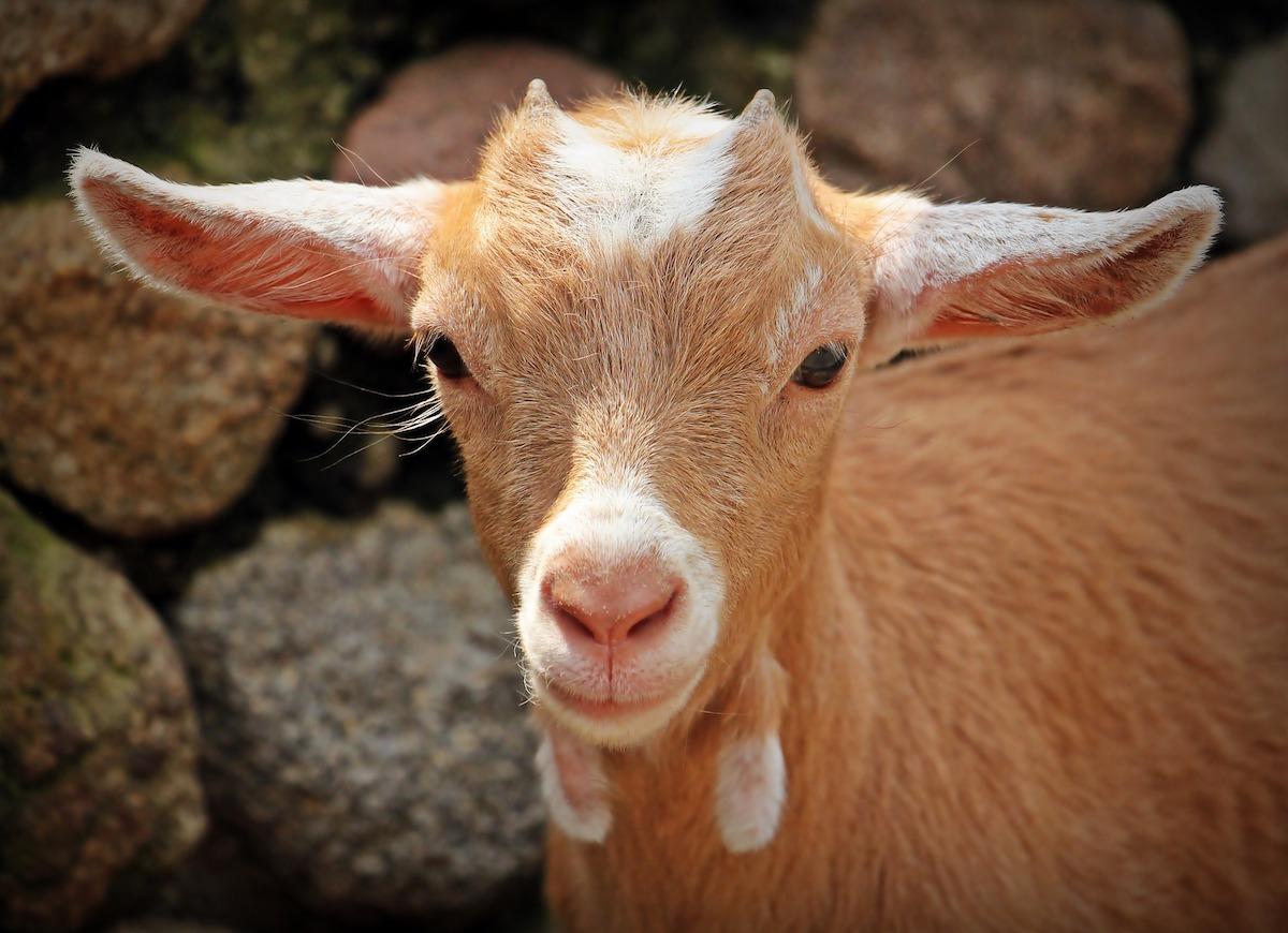 goat-small.jpeg