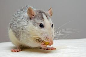 rat-small.jpg