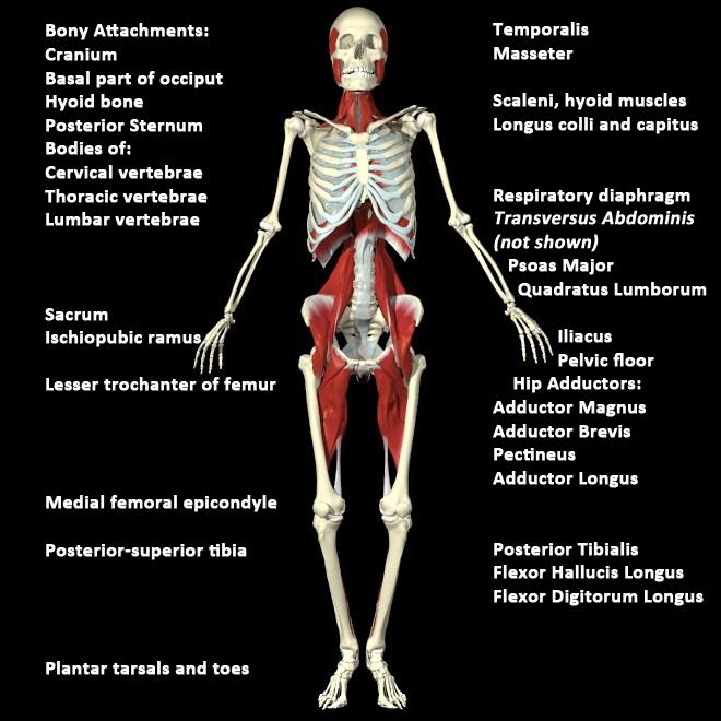 http://healingartsce.com/advancedanatomymyofascialpg4.html
