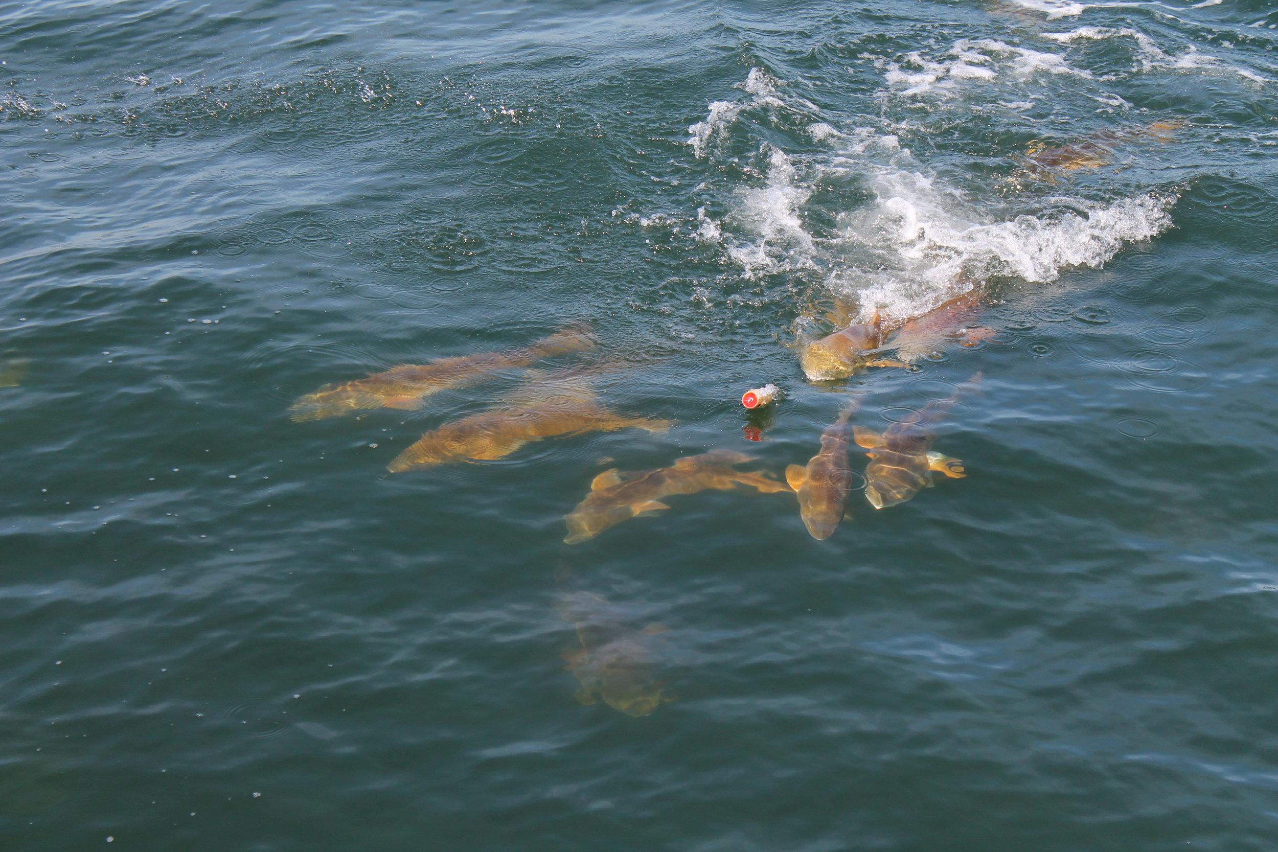 Redfish in Pensacola Bay. Having some topwater fun. Fall 2016.