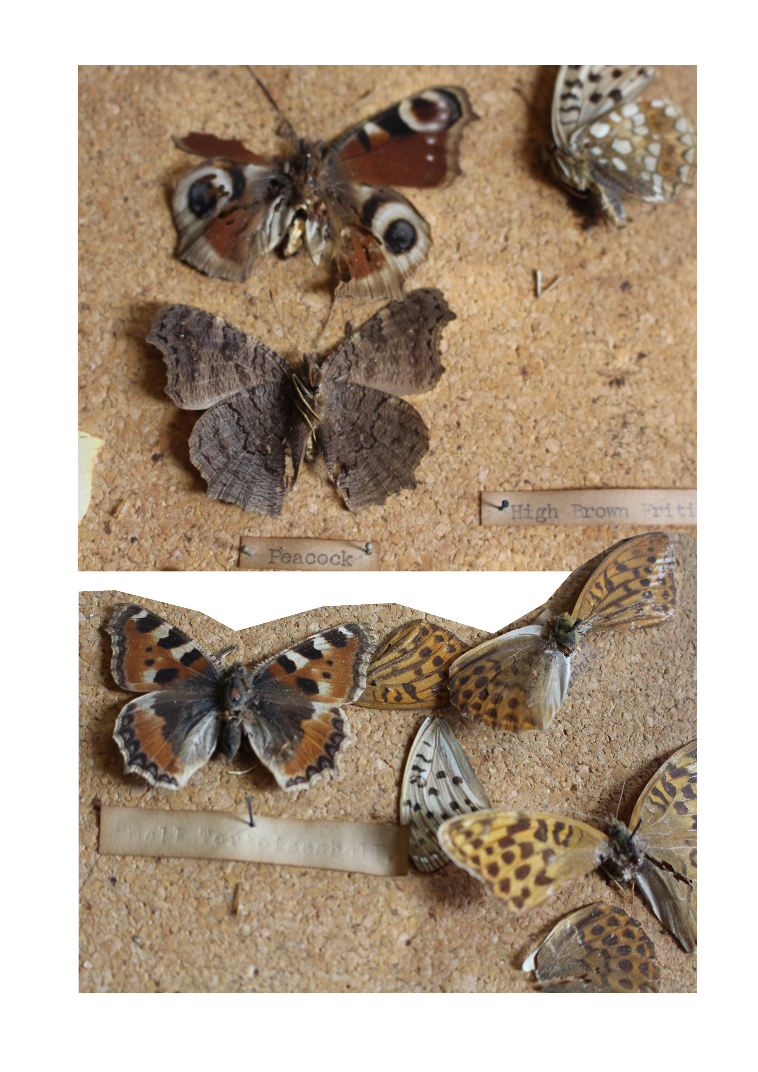 Peacock and High Brown fritillary butterflies along with a Small Tortoiseshell