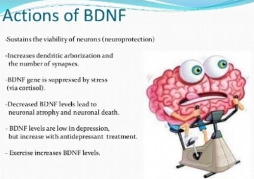 BDNF.jpg