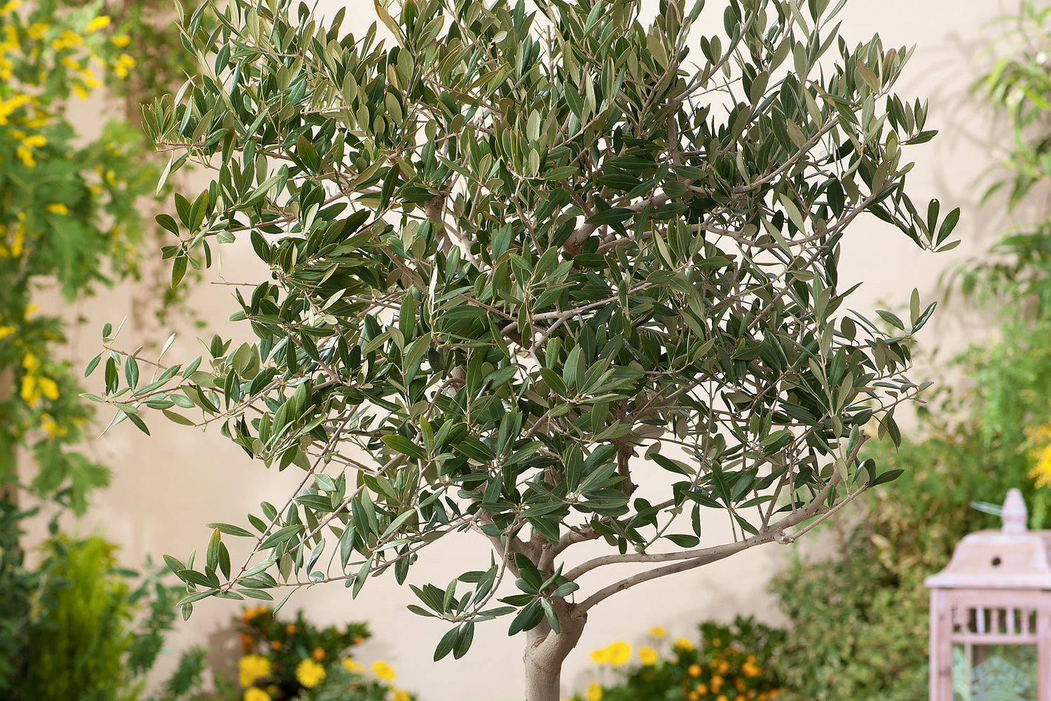Fruiting Edible Olive Tree California Grown True Olive Large