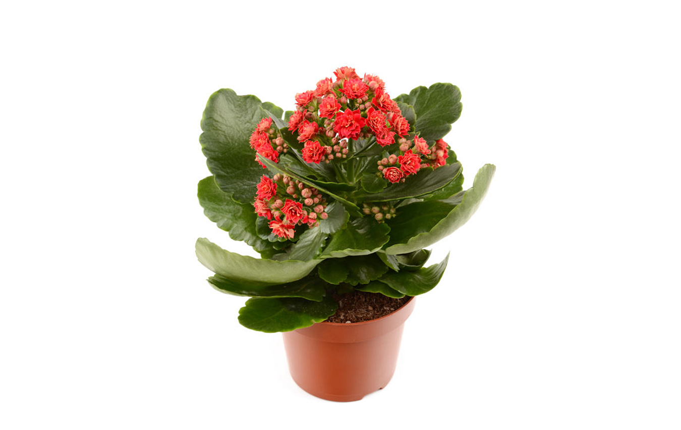 Red Kalanchoe Potted Plant Pacific Royal