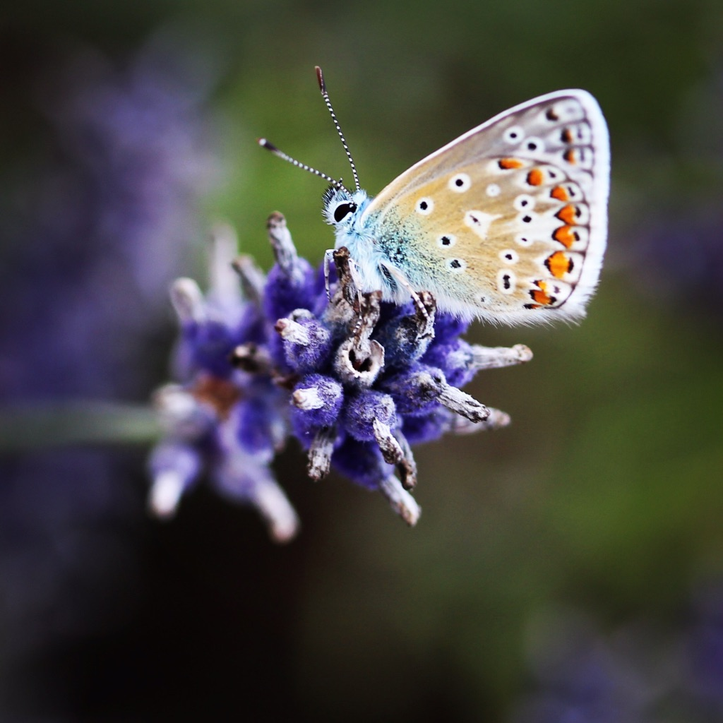 CLICK ON AN IMAGE TO VIEW THE FULL GALLERY     All things Lavender   In July every year, the lavender fields come into flower, creating a 'sea of purple' and the scent is heavenly. The fields provide a beautiful backdrop for photographs.