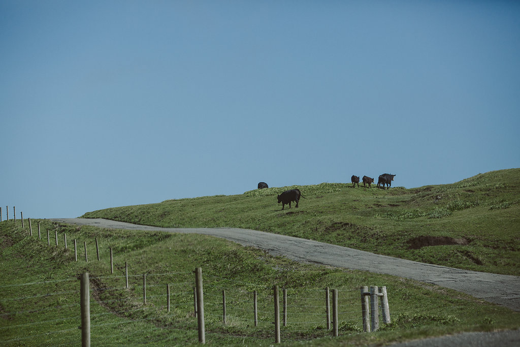 Lost Coast Cows on the Wildcat Road | Ferndale CA