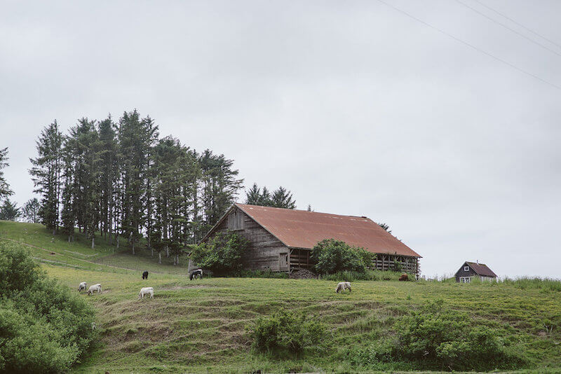 Rustic Barn and Cows in Ferndale CA
