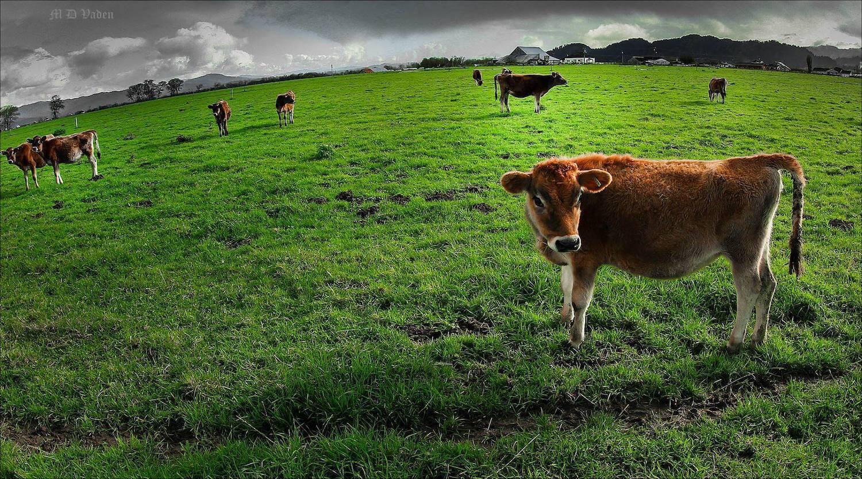 Dairy Cow Calves in Ferndale, CA