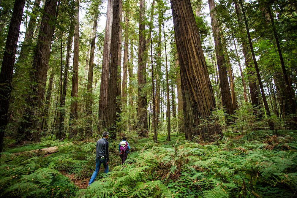 Humboldt County Redwood Trees Near Ferndale CA