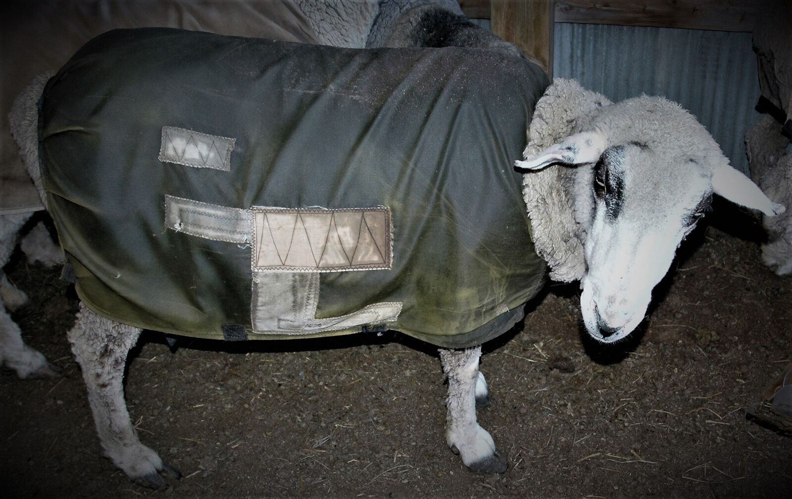 Sheep in patched jacket.