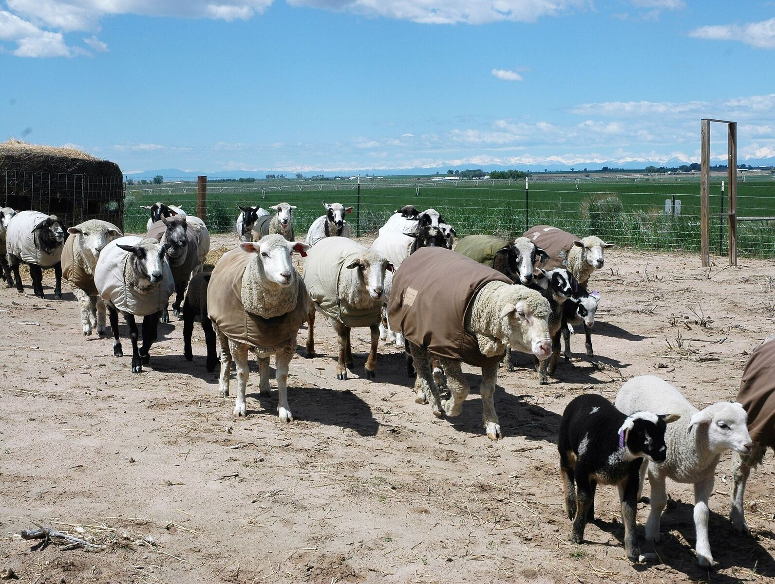 After every sheep is cared for, they head back out to pasture.