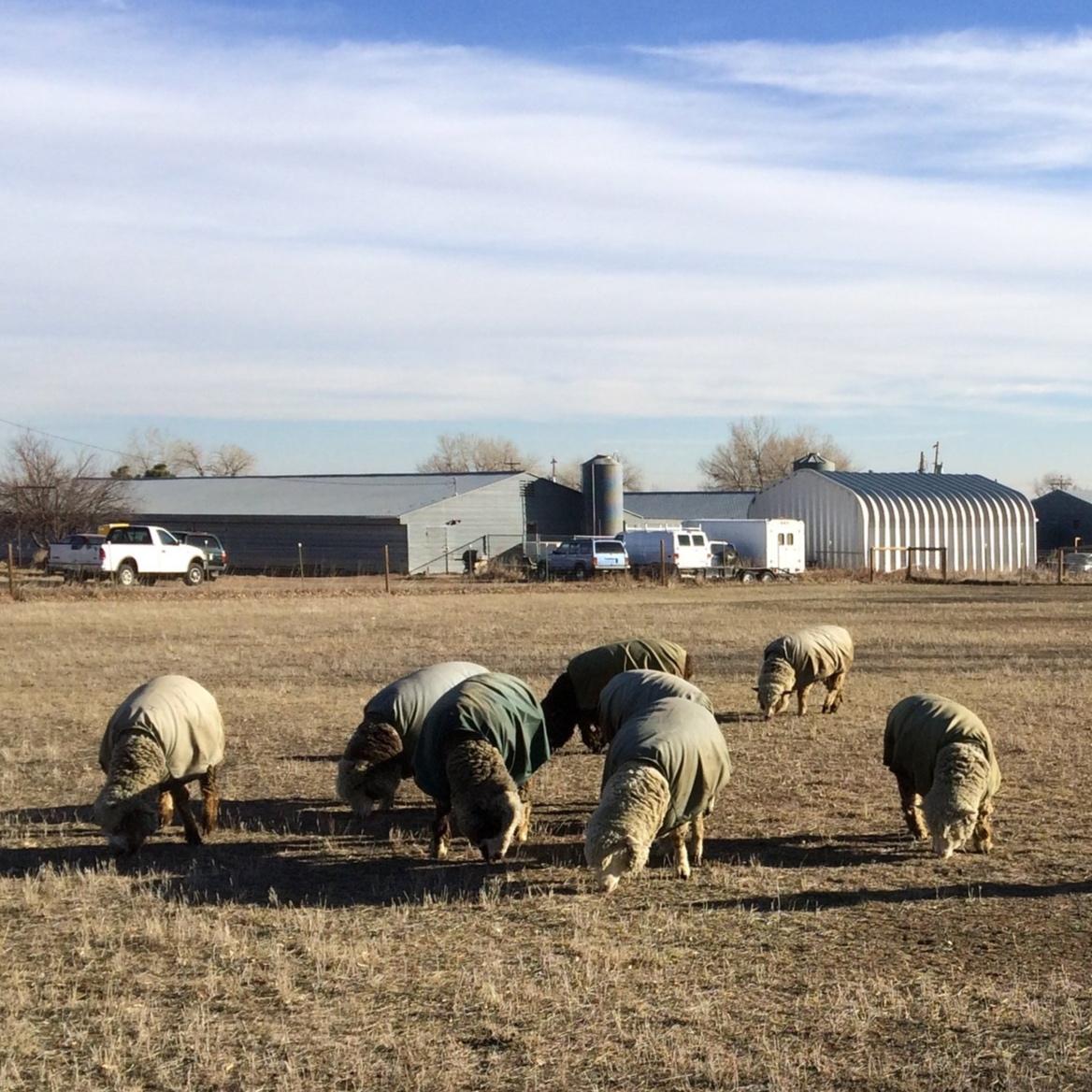 sheep in pasture.JPG
