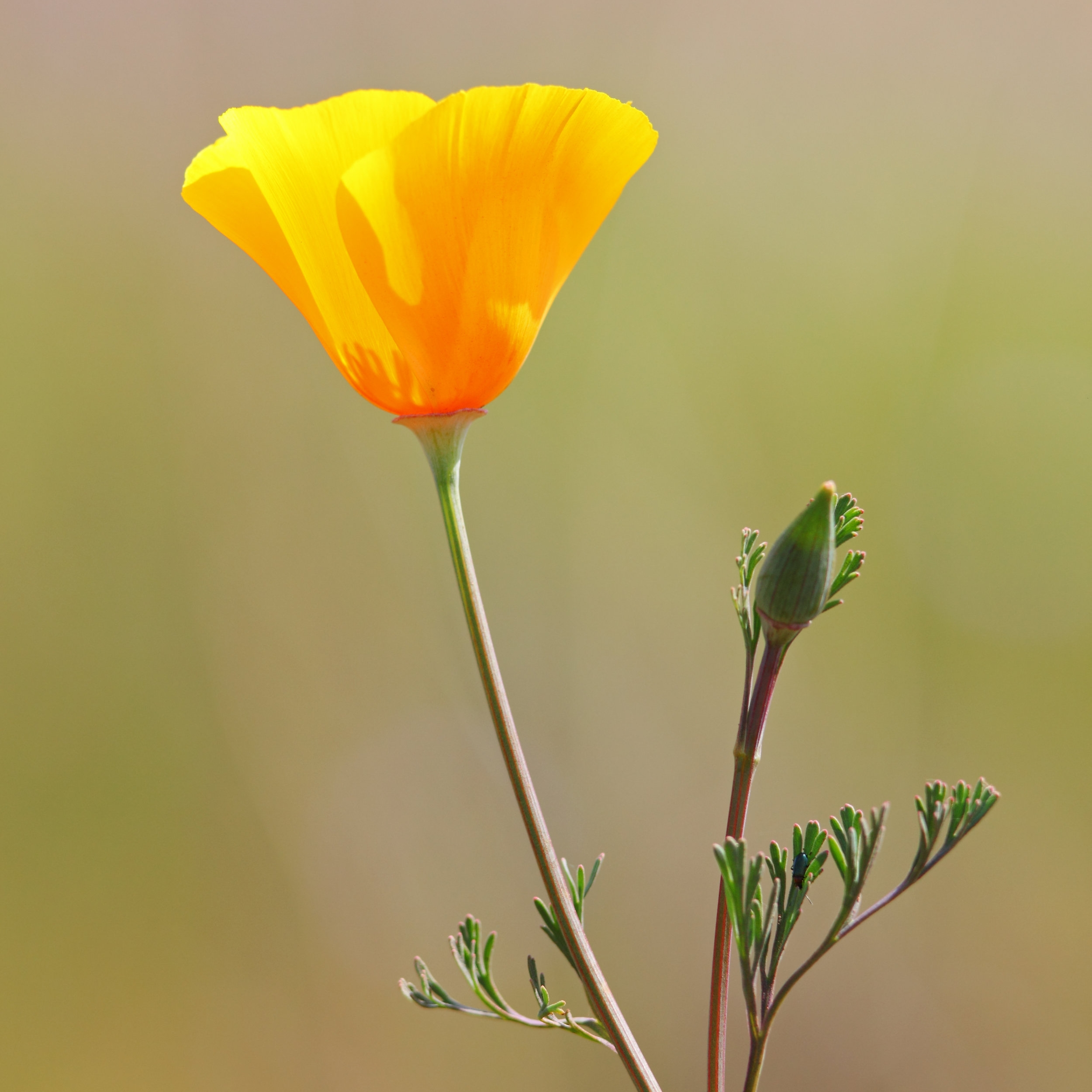 California_poppy_(Eschscholzia_californica).jpg