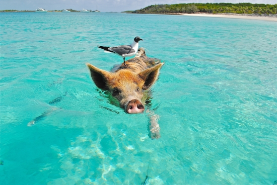 Did I mention that it's kindof cold out right now for mid-May? So here's a picture of a pig, swimming in a warm ocean, with a bird on it's back. (I swear that I'm not trying to compare lenders to pigs. Really, it's just a cute picture.)
