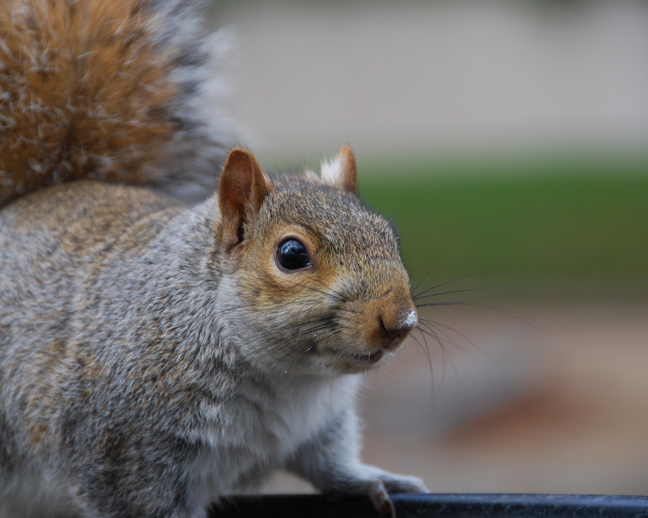 "Squirrels are the number one pest problem in Colorado. To rid your home of unwanted squirrels we will:  1) Investigate the roof & exterior for openings and entrance points  2) Trap & relocate squirrel family from the attic & roof  3) Repair openings & vents with ""chew-proof"" material  *Service also includes removing squirrels from inside the home, fireplaces and yards."