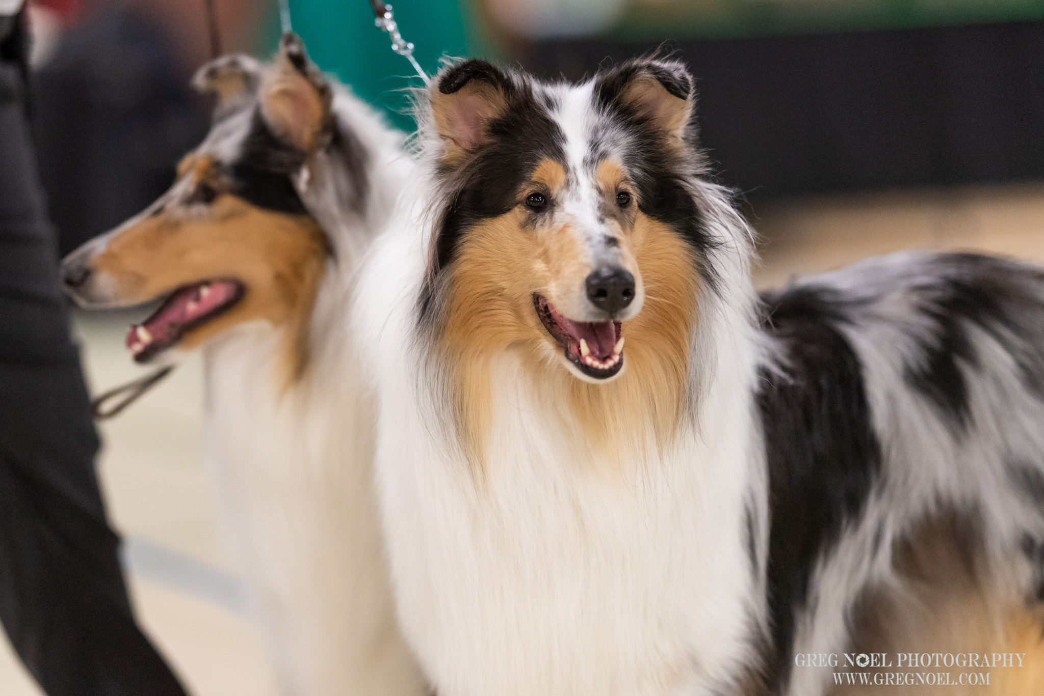 Newfoundland All Breed Kennel Club Dog ShowApril 2019 Candids and Ring Photos - Personal use digital downloads$10 each, 3 for $25Commercial Licence for breeders/businesses/advertising additional $60 per imagePrints also available