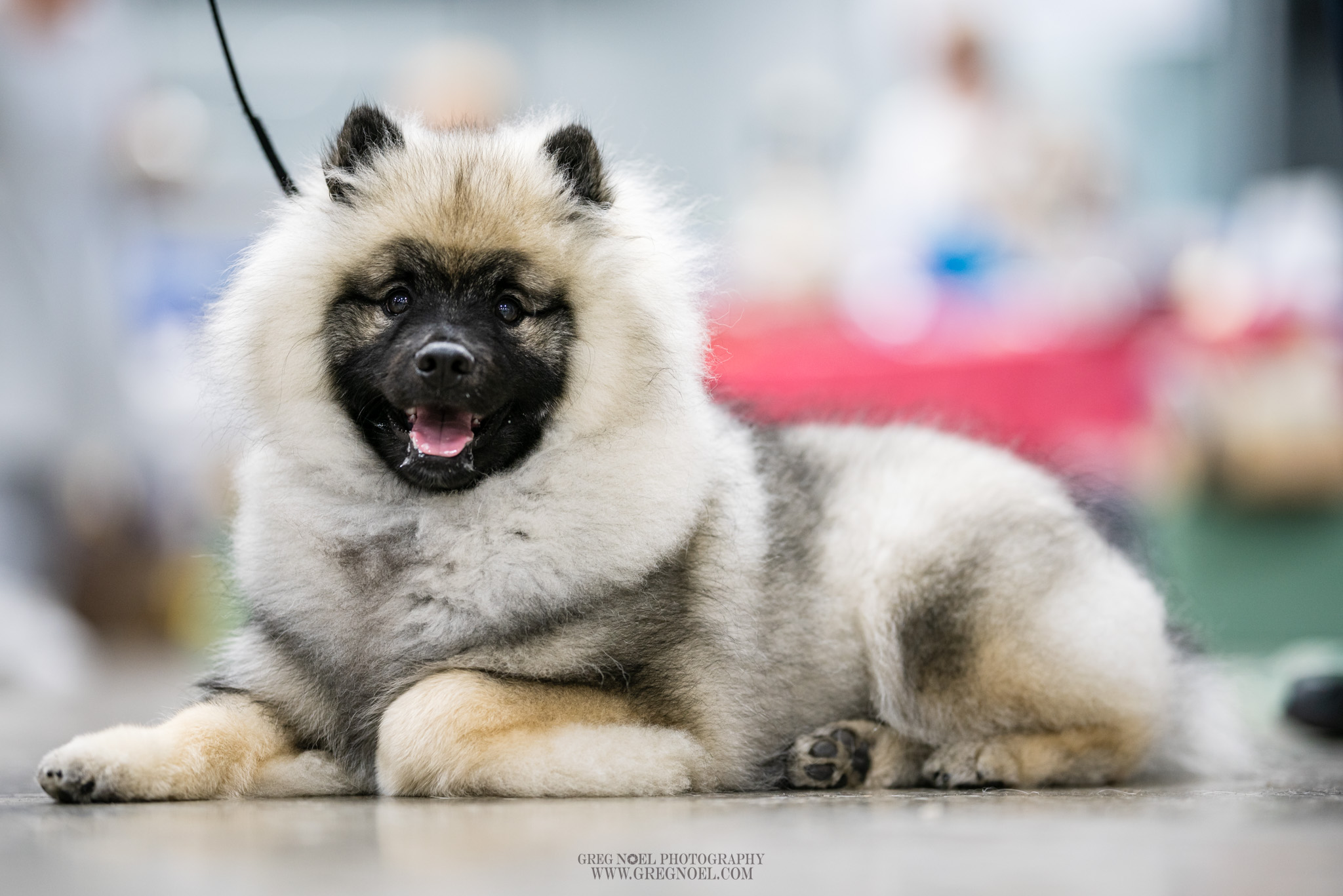 Conception Bay Kennel Club Show 2019 Candid and Ring Photos - Personal use digital downloads$10 each, 3 for $25Commercial Licence for breeders/businesses/advertising additional $60 per imagePrints also available