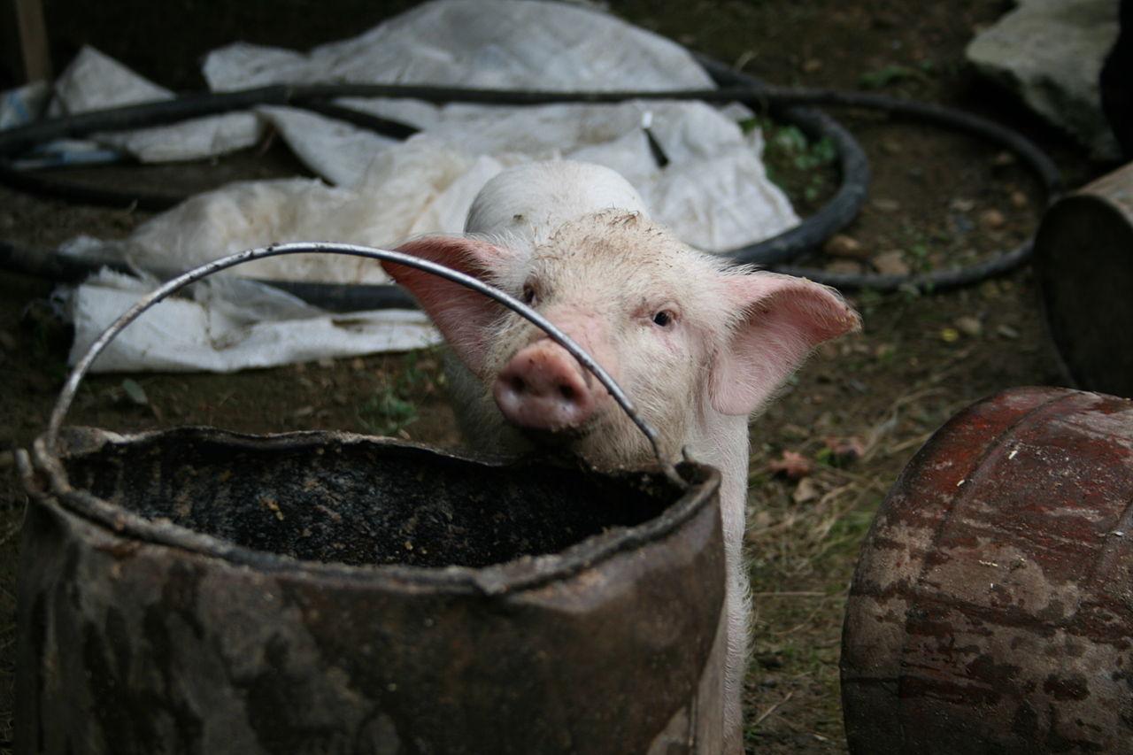 1280px-Feeding_the_pigs_5.jpg
