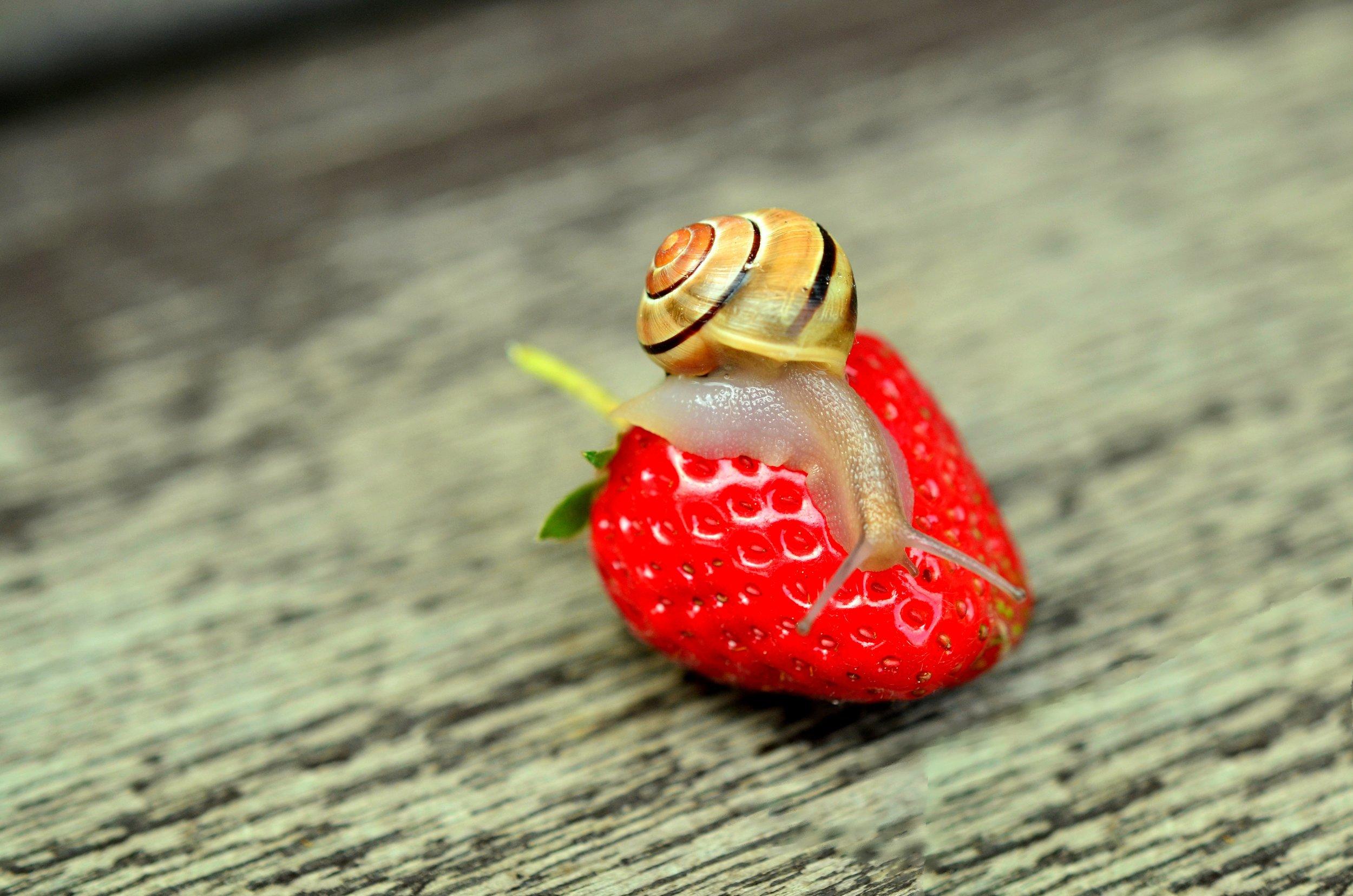 strawberry-snail-tape-worm-animal.jpg