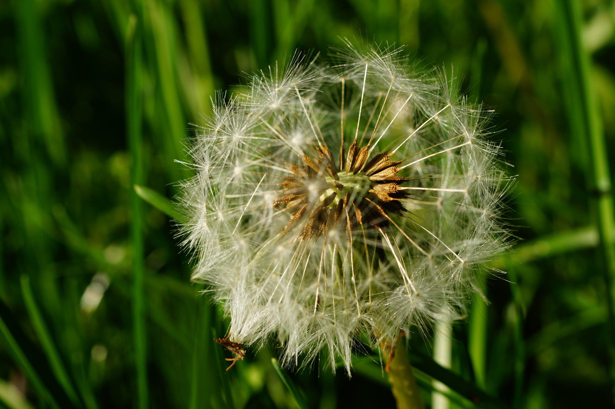 dandelion-faded-seeds-multiplication-56893.jpeg