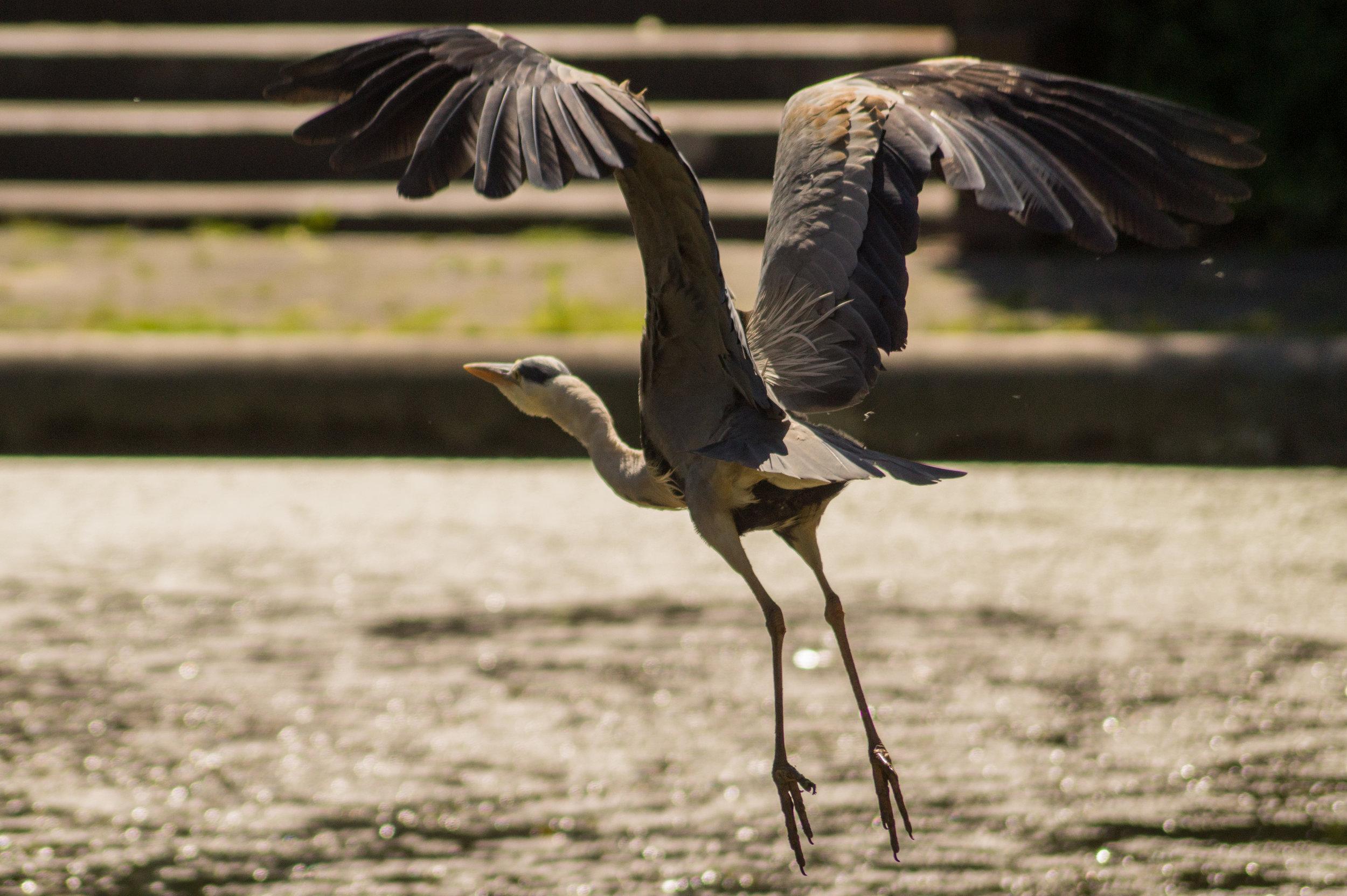 bird-flying-heron-start.jpg