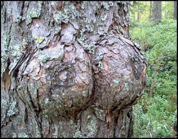 Or you can find some bountiful boobies IN nature. As a side note, gentlemen: you should  not  titty fuck this tree.
