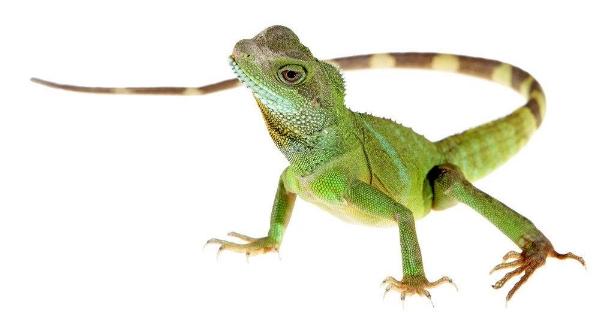 1) A Lizard of Any Kind -