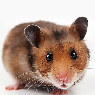 2) Hamster -