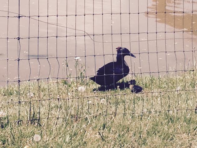 Black duckling 4-27-16.jpg
