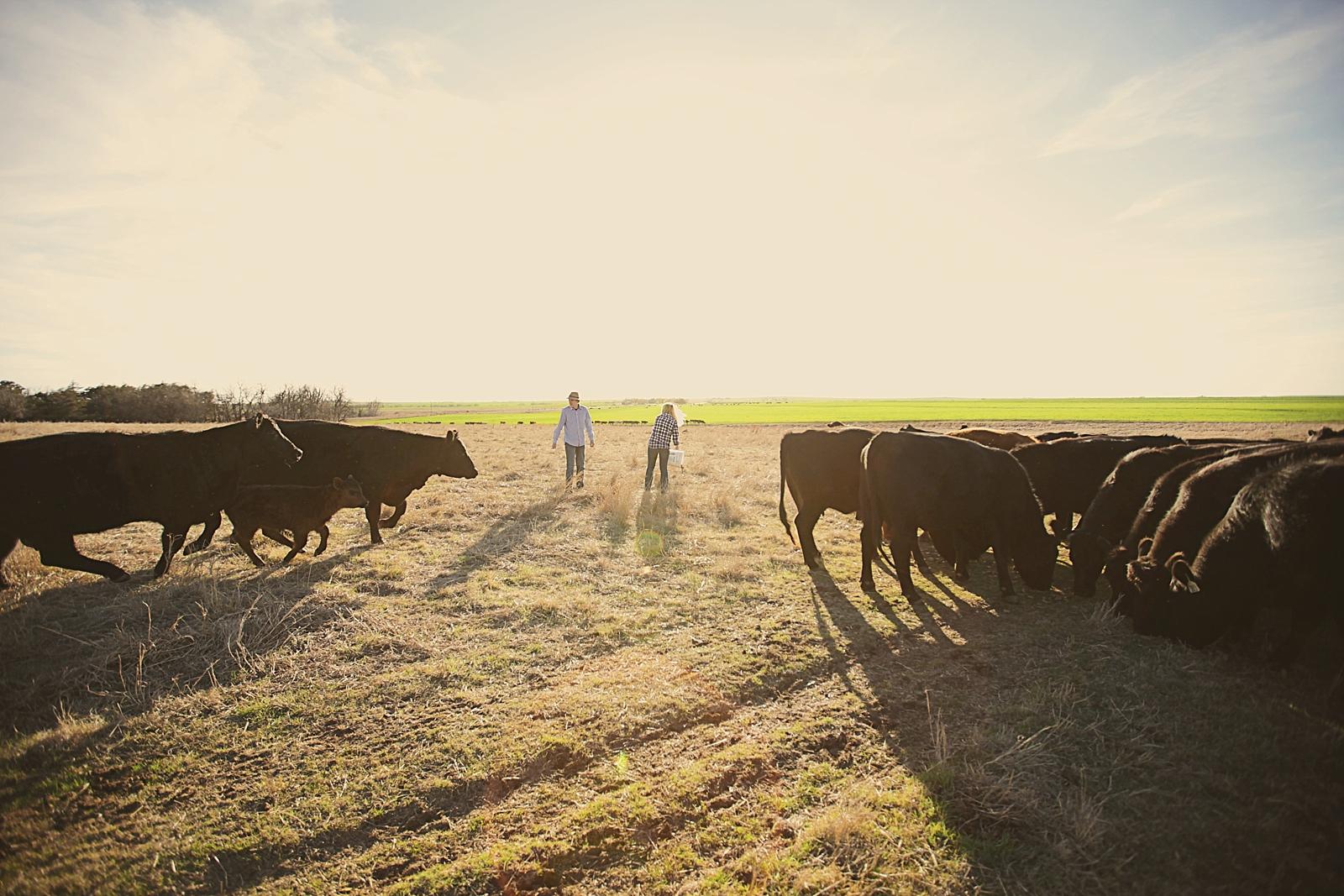 couple feeding cows, western oklahoma engagements, engagements on a farm, thomas oklahoma wedding photographer, weatherford oklahoma wedding photographer