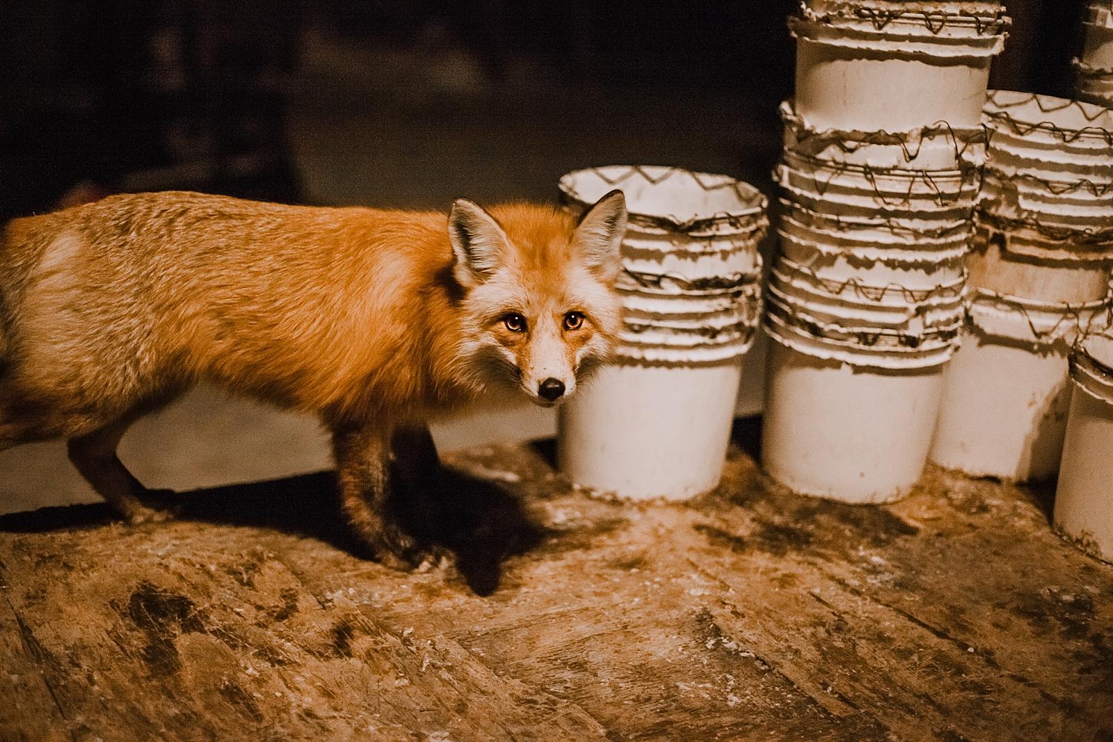 fox hunting, colorado elopement photographer, breckenridge elopement photographer, copper colorado elopement photographer, leadville colorado elopement photographer