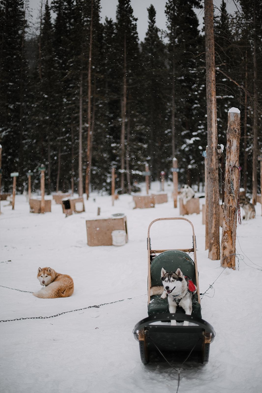 husky in dogsled, breckenridge colorado dogsledding, colorado dogsledding, breckenridge colorado elopement photographer, breckenridge colorado wedding photographer