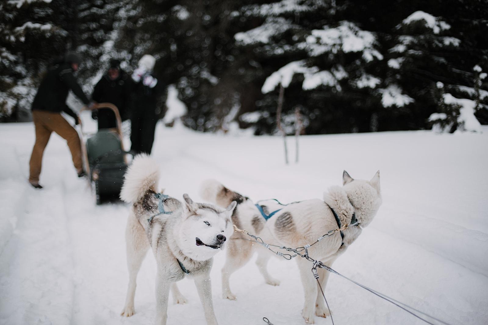 husky shaking off snow, leadville elopement photographer, leadville wedding photographer, breckenridge elopement photographer, breckenridge wedding photographer, sapphire point photographer