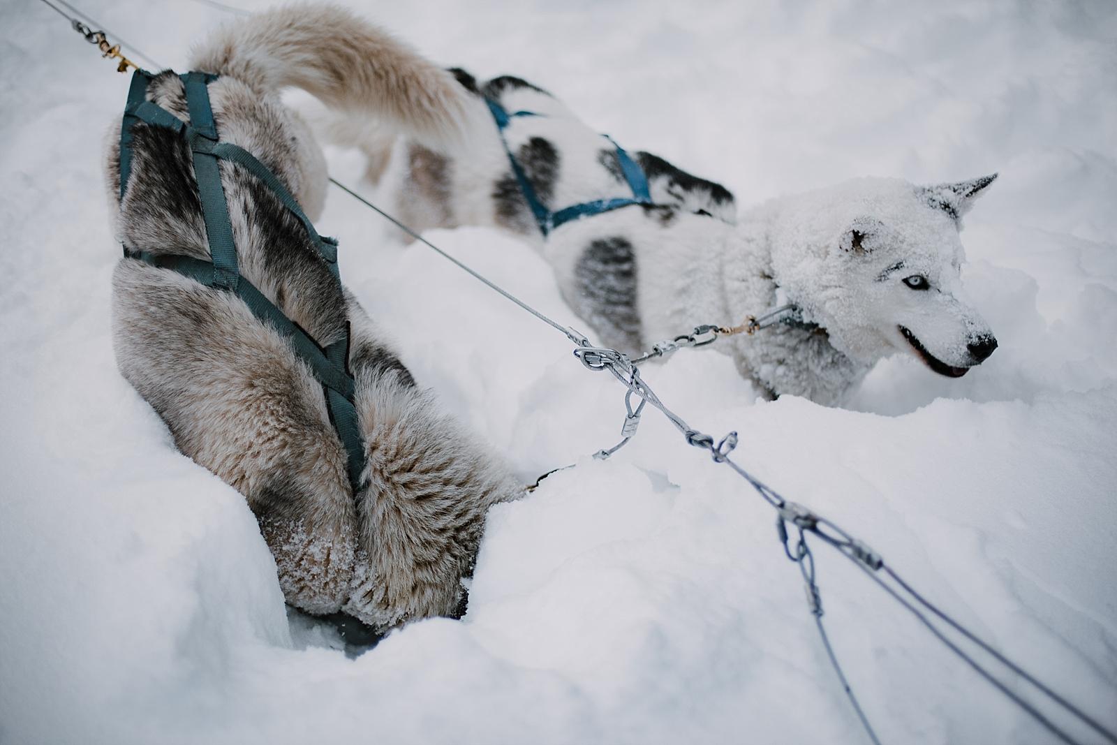 husky diving into snow, norway elopement photographer, greenland elopement photographer, iceland elopement photographer, sweden elopement photographer