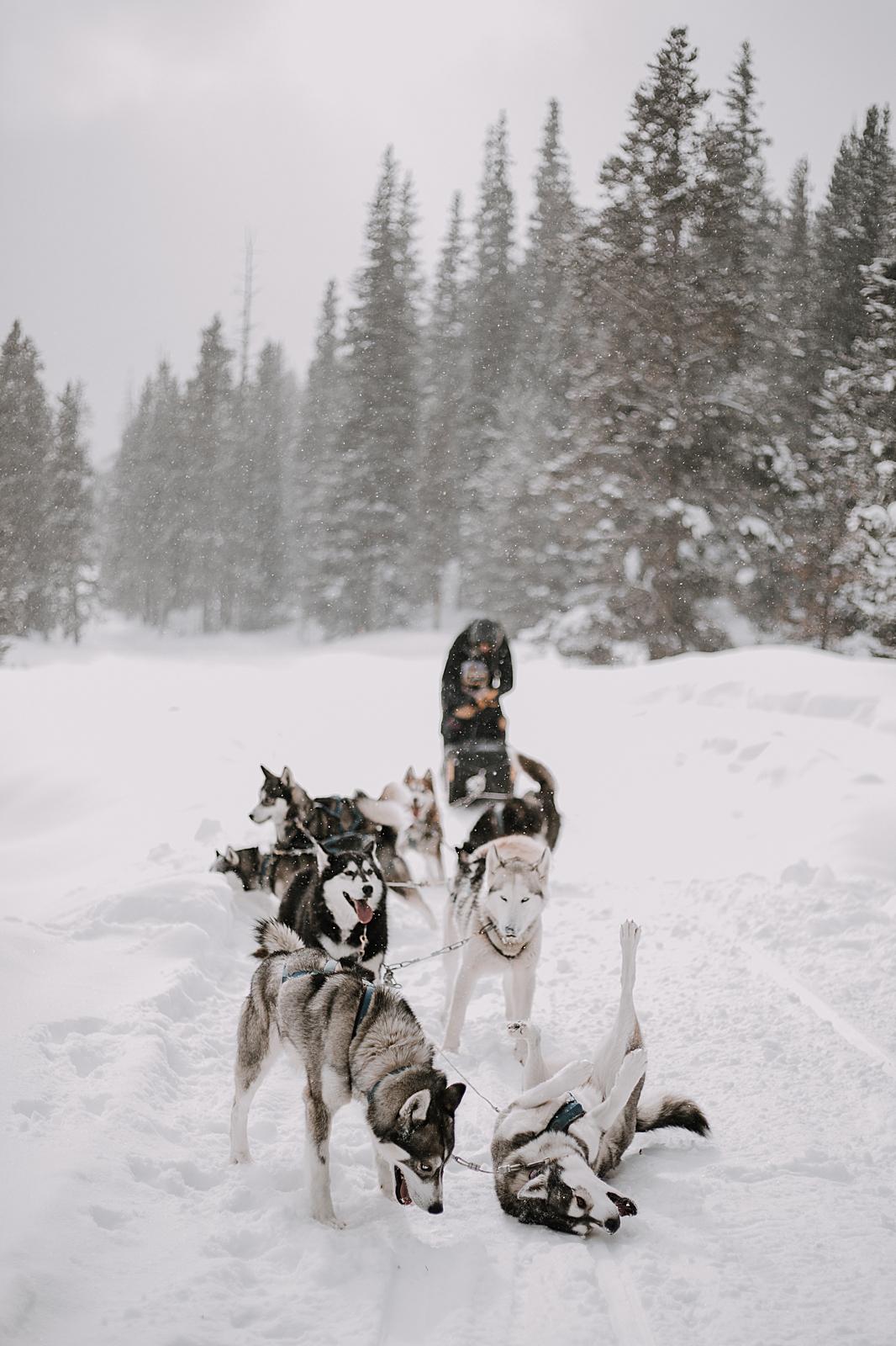 husky rolling in the snow, sled dog, dogsledding, winter, winter elopement, winter wedding, breckenridge colorado photographer, colorado dog sledding, dogsledding elopement, snowmobiling elopement