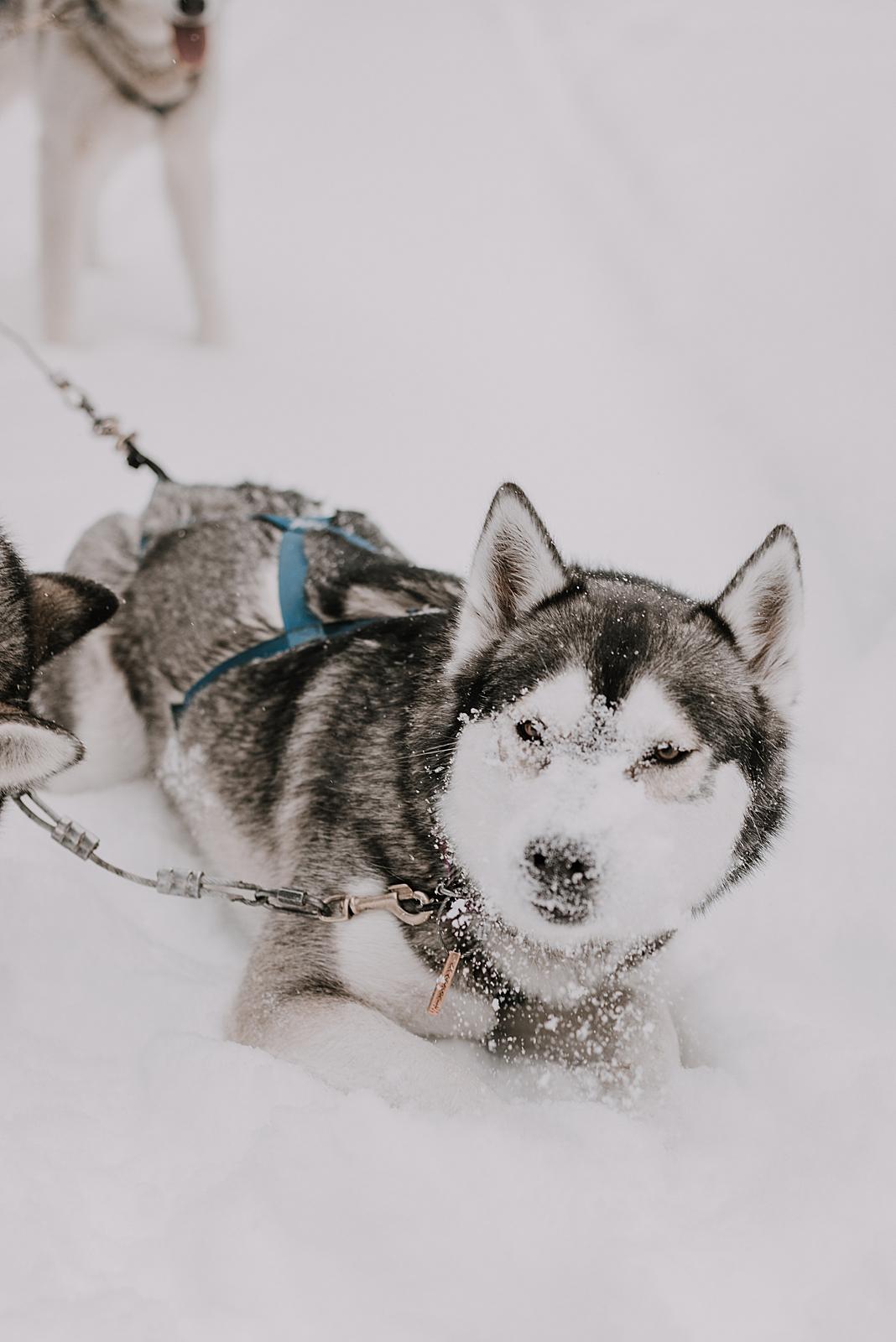siberian husky, sled dog, dogsledding, winter, winter elopement, winter wedding, breckenridge colorado photographer, colorado dog sledding, alaska, dogsledding elopement, snowmobiling elopement