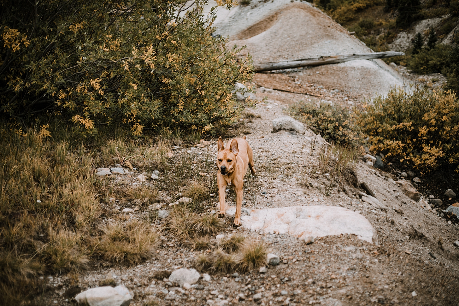 puppy running, mining ruins, hike mayflower gulch, mayflower gulch proposal, mayflower gulch elopement, mayflower gulch wedding, mayflower gulch engagments, leadville elopement, leadville wedding