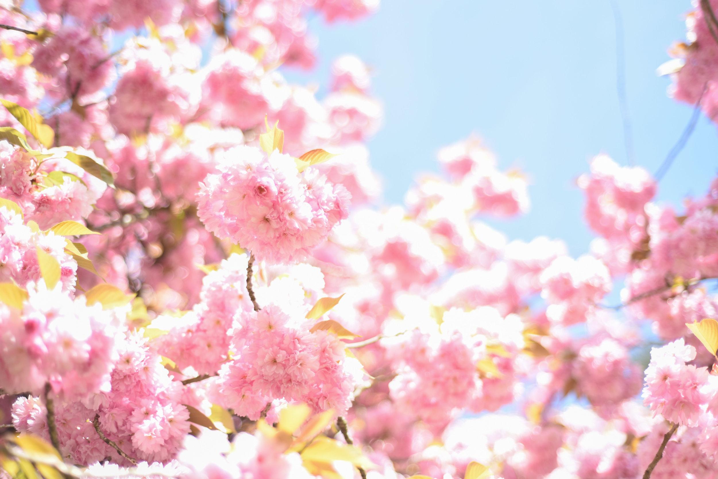cherry blossoms paris-2.jpg