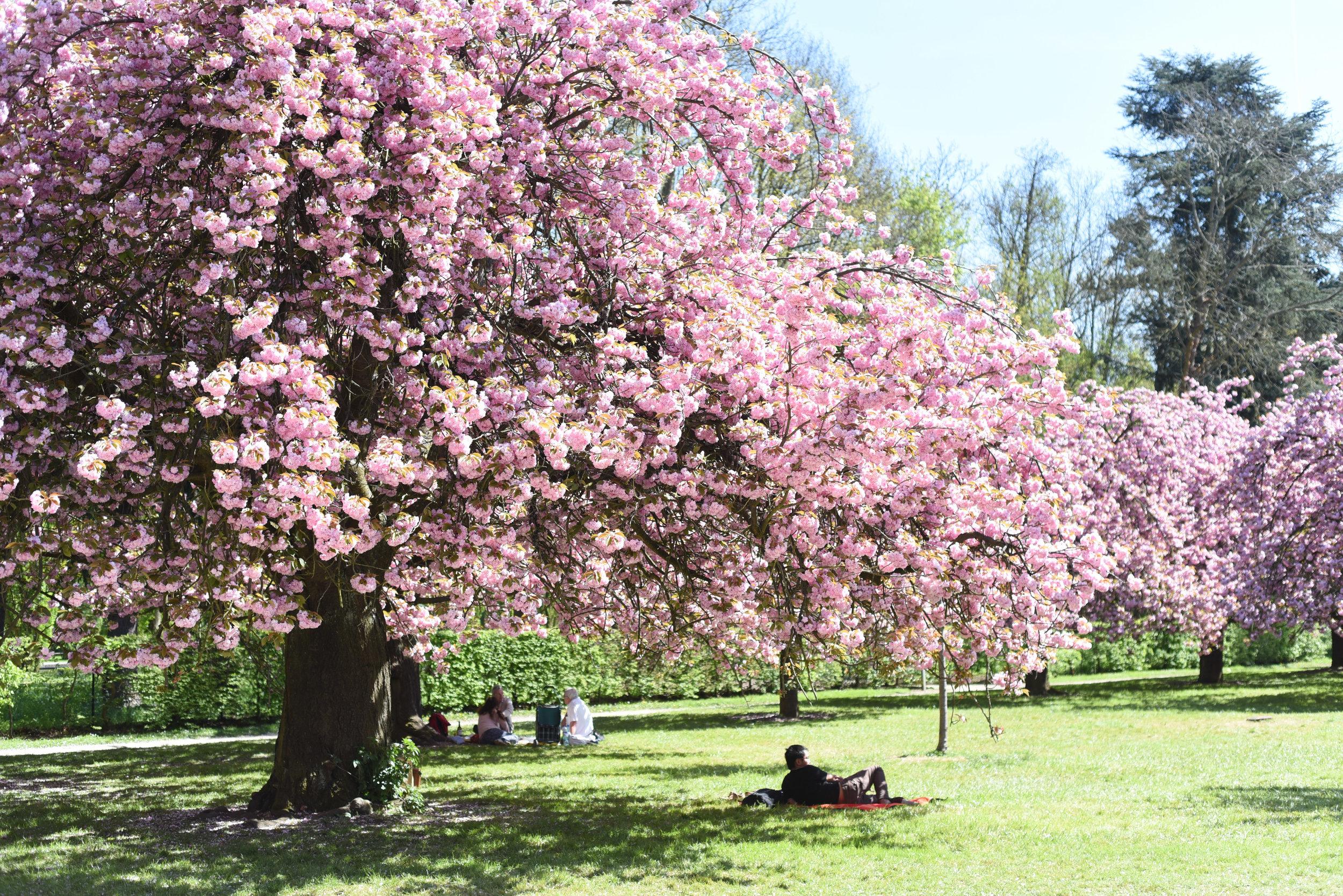 cherry blossoms paris-1.jpg
