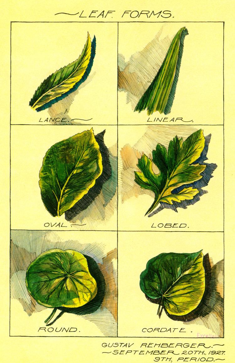 1927 - Leaf Forms (Pen & Colored Inks, Wash)