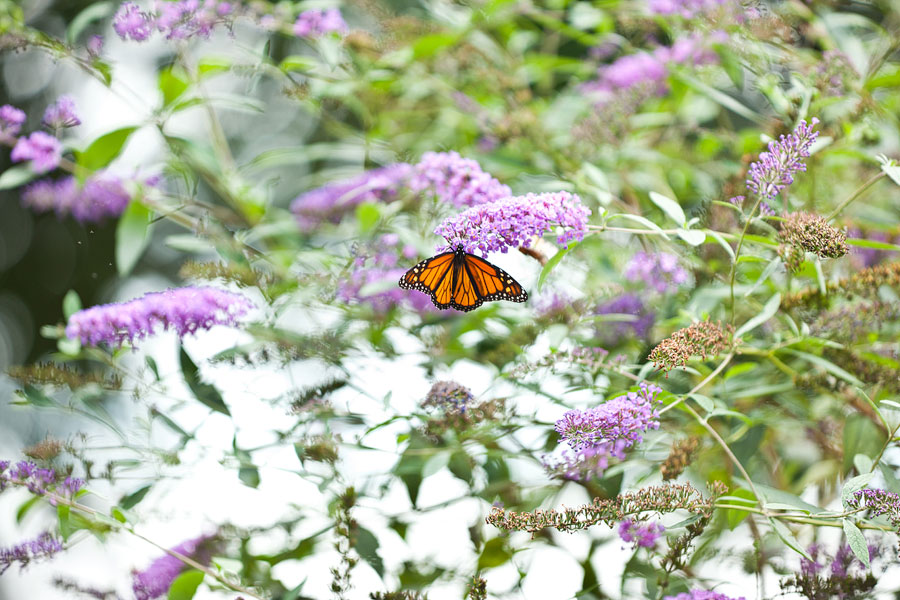 Butterfly Bush Lakeside park.jpg